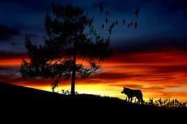 Attenti ai lupi